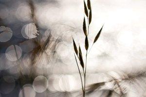 Oat Grass and Bokeh