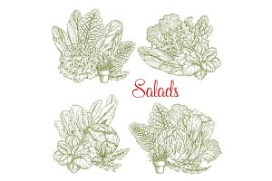 Vector sketch salads and farm lettuces vegetables