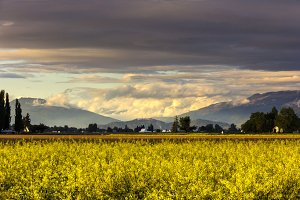 Mustard Fields and Mountains
