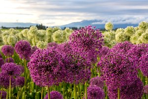 Allium Flowers and Mountains