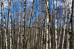 Horizontal vibrant array of Russian birch background backdrop