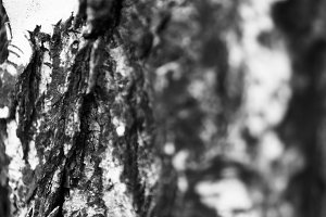 Horizontal bright black and white bokeh tree bark background bac