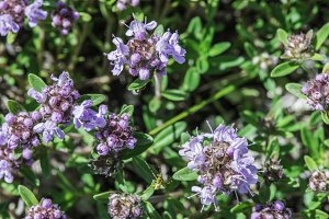 Flower thyme in the nature