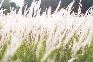Grass flower of the grass