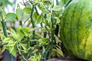 Sweet green organic watermelon outside. Tropical Bali island, Indonesia.