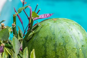 Sweet green organic watermelon outside on a blue swimming pool background. Tropical Bali island, Indonesia.
