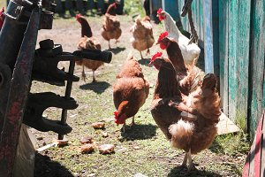 Chicken at sunny day on countryside yard at farm