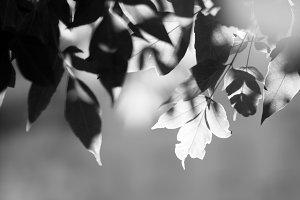 Horizontal black and white tree leaves bokeh flare top aligned b