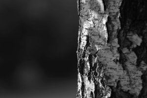 Horizontal black and white tree trunk bokeh background backdrop