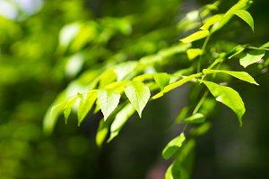 Horizontal summer green leaves bokeh background