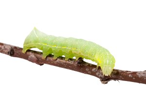 Green caterpillar on stick isolated on white background