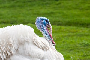 Portrait of a white turkey male or gobbler closeup on a green background