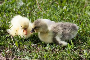 Two little domestic gosling in green grass