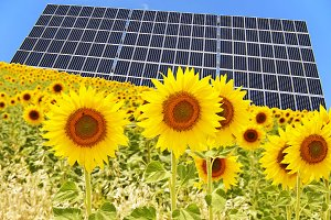 field of sunflowers and solar panels