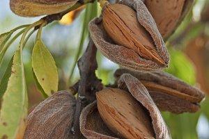almond branch