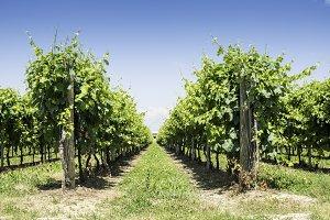 Green Vineyards