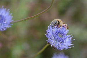 Bee over blue flower