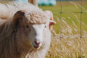 Sheep in Summer