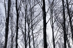 Vertical birch trees trunks nature background