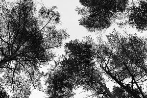 Horizontal black and white top of the trees background