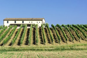 Vine plantations and farmhouse in Italy