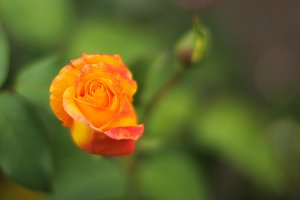 Yellow Rose with orange burn