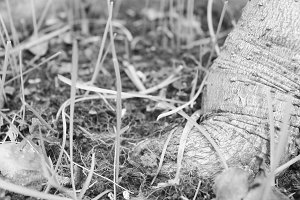 Tree in the Ground Black and White