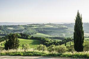 Tuscan cypress tree