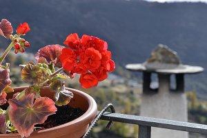 geranium in La Alpujarra, Granada