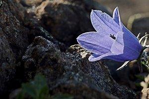 Rugged Alaska Flower