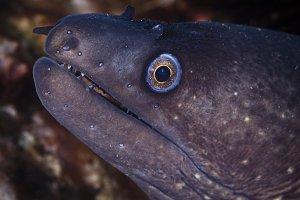Mediterranean Moray eel
