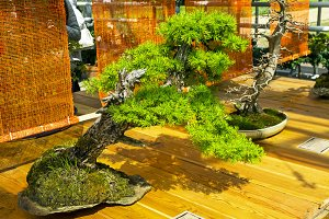 European larch - Bonsai