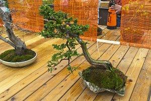 Northern white-cedar - Bonsai