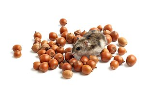 set of a hamster with acorn