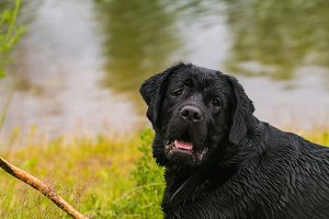 big black dog labrador