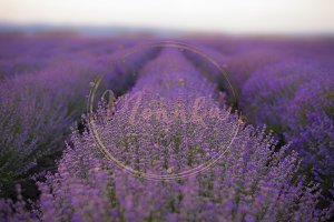 Lavender Fields. Rows Of Lavender