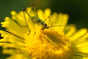 Grasshopper on yellow flower