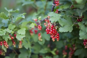 Red currant on a green bush