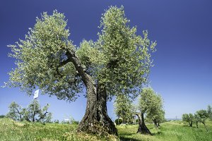 Olive tree in Italy