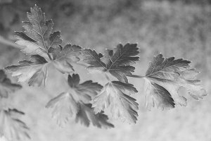 Parsley Detail in Black and White