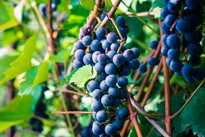 Bunches of grape