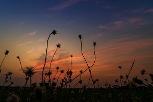 Silhouette of flowering grass