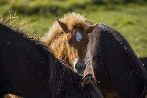 Little Icelandic horse