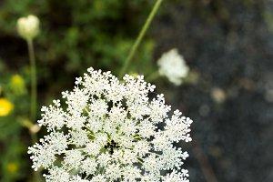 Yarrow wild flower organic background