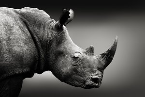 Monochrome rhinoceros art