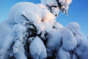 Fir tree under snow