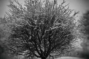 Black and white winter tree