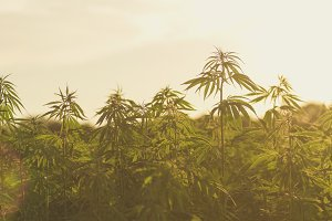 hemp industrial plantation