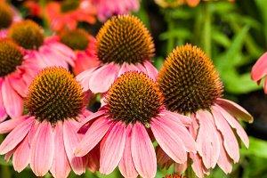 Pink flowering echinacea