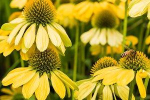 Yellow flowering echinacea